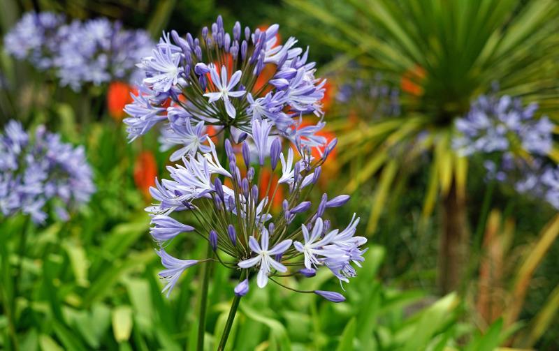 agapanthus-flowers-close-up.jpg