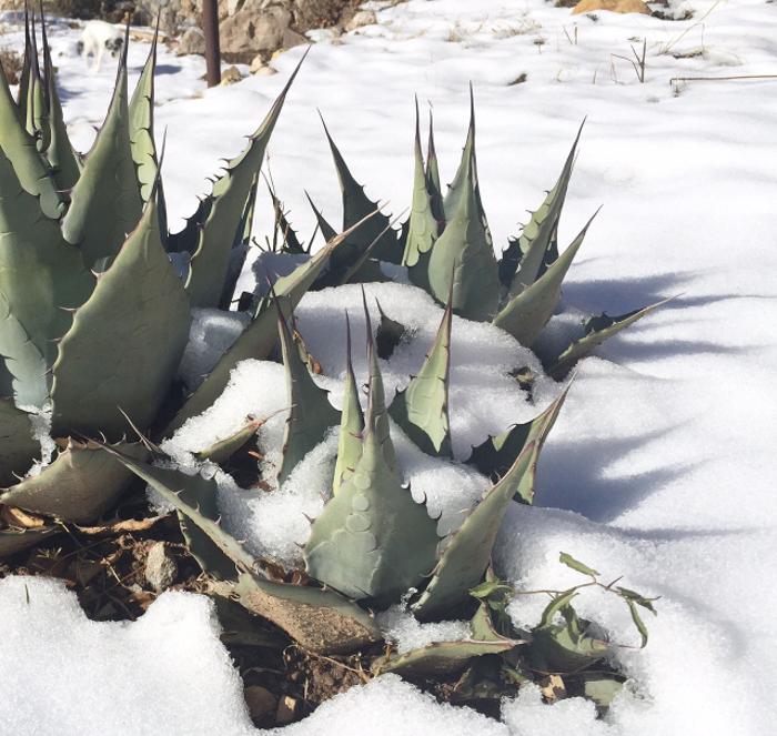 agave-survive-outdoors-in-winter.jpg