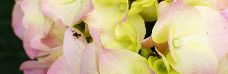 ant-on-hydrangea-bloom.jpg
