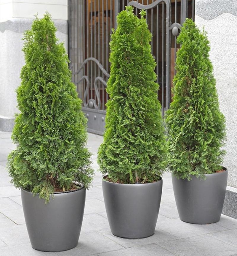 arborvitae-growing-in-black-garden-planters.png