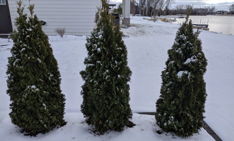 arborvitae-in-the-winter-with-snow-on-them.jpg