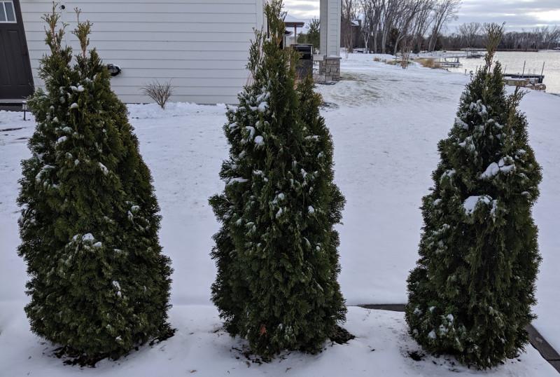 arborvitae-shrubs-in-the-snow.jpg
