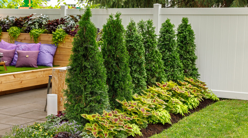 arborvitae-spaced-out-next-to-privacy-fence.jpg