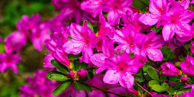 azalea-branches-full-of-blooms.jpg