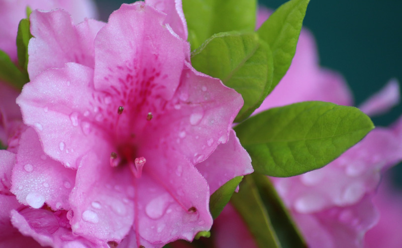 azalea-flower-wet-from-watering.jpg