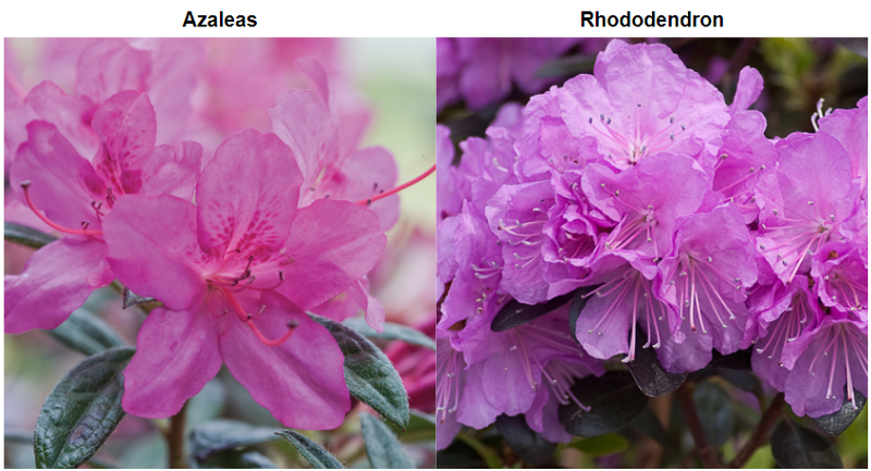 The Difference Between Azaleas And Rhododendrons Plant Addicts
