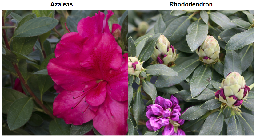 azalea-vs-rhododendron-leaves.png