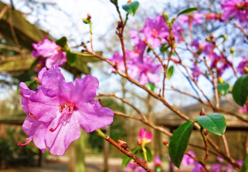 azalea-with-flowers-fading.jpg