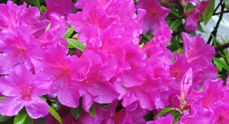 azaleas-after-rainfall.jpg