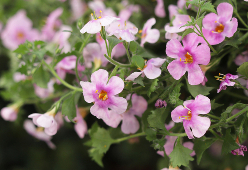 bacopa-flowers-and-leaves-close-up.jpg