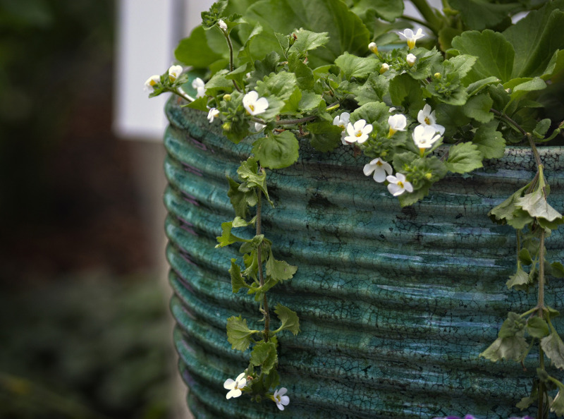 bacopa-plant-growing-in-a-garden-planter.jpg