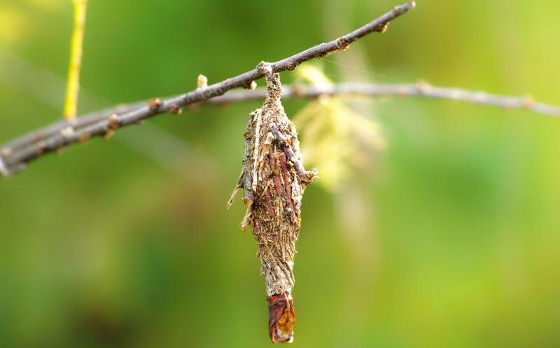 bagword-larva-growing-on-arborvitae.jpg