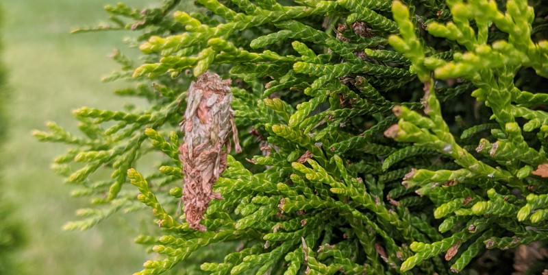bagworm-hanging-from-arborvitae-branch.jpg