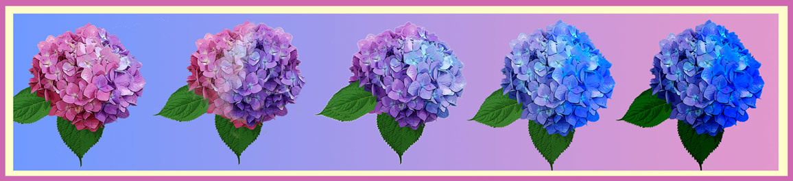 Changing The Color Of Hydrangeas Plant Addicts