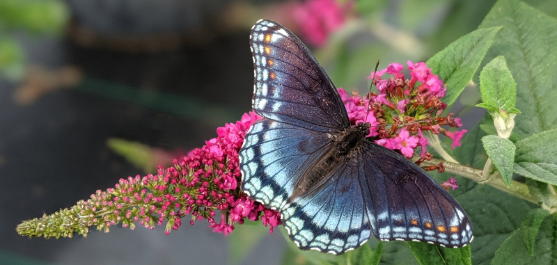 beautiful-butterfly-on-pink-butterfly-bush-flower.jpg