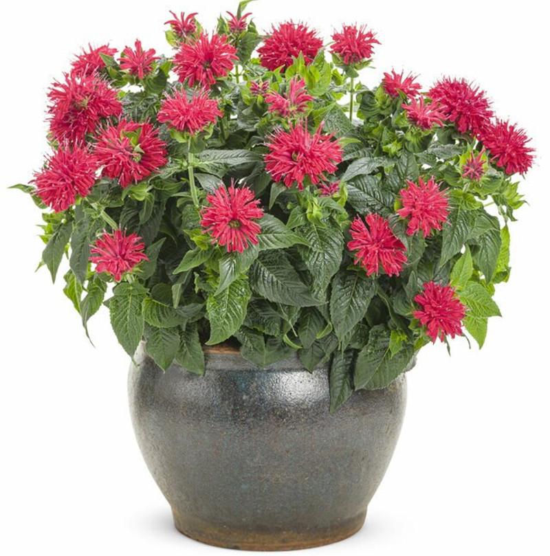 bee-balm-blooming-in-garden-planter.jpg