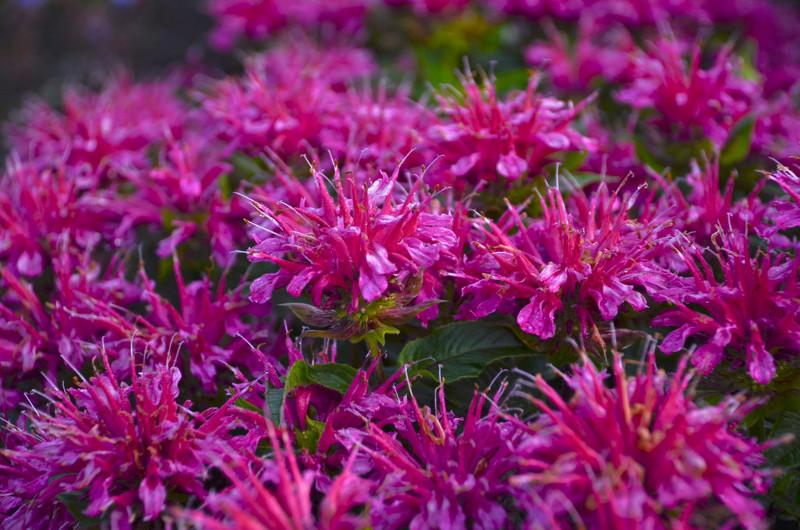 bee-balm-blooms-close-up.jpg