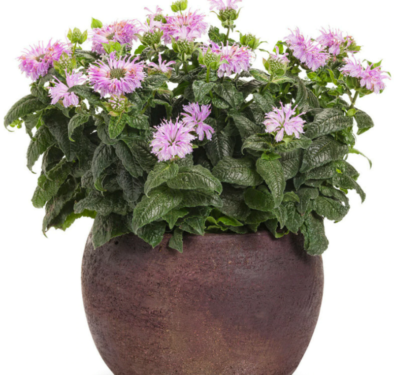 bee-balm-growing-in-clay-planter.png