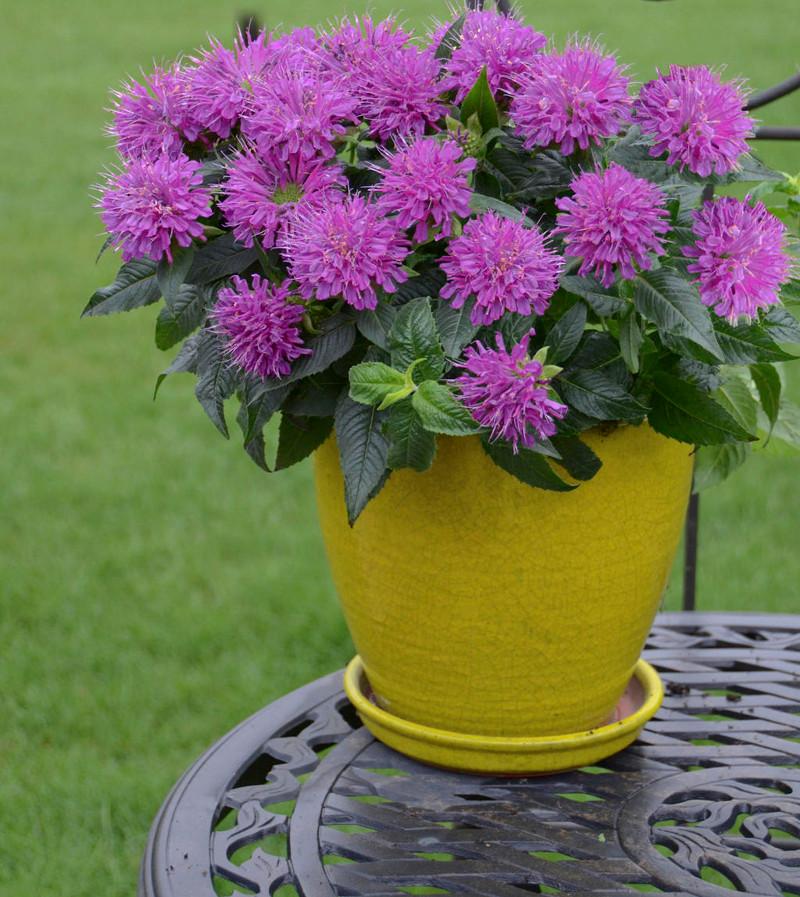 bee-balm-growing-in-patio-planter.jpg