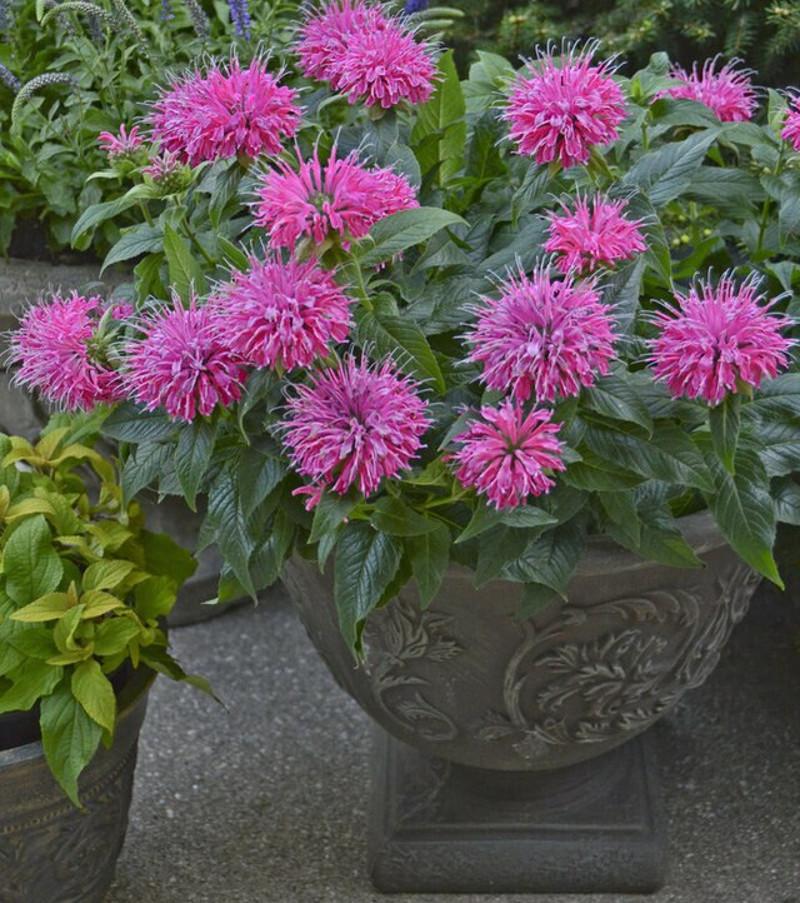 bee-balm-growing-in-urn-planter.jpg