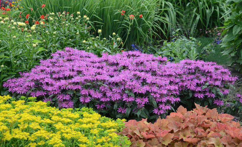 bee-balm-in-the-garden-with-other-plants.jpg