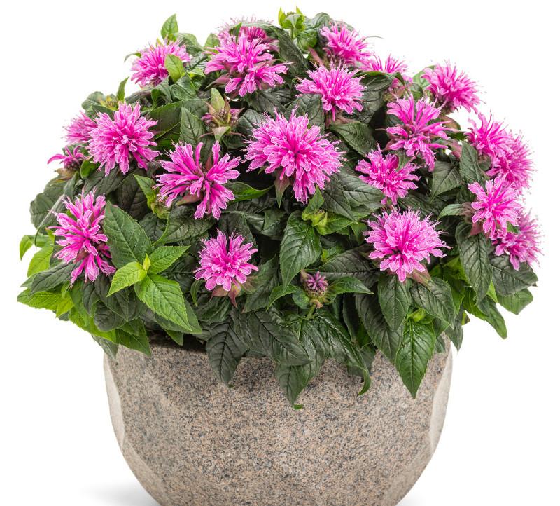 bee-balm-plant-in-decorative-planter.jpg
