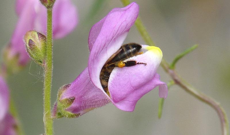 bee-inside-a-snapdragon-flower.jpg