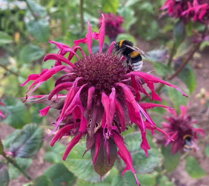bee-on-the-bee-balm.jpg