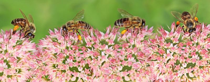bees-on-sedum-flowers.jpg
