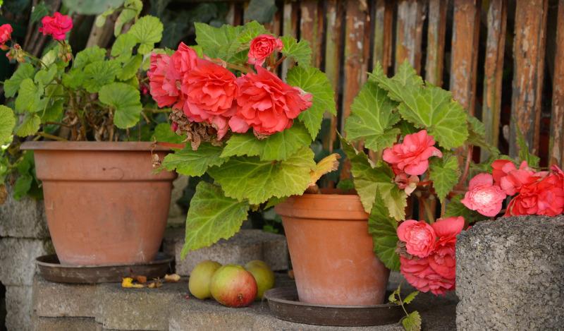 begonias-blooming-in-terra-cotta-planters.jpg