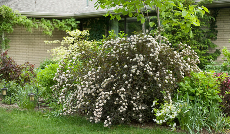 big-ninebark-plant-in-the-front-yard-garden.jpg