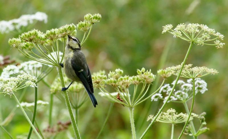 bird-resting-on-yarrow-branch.jpg
