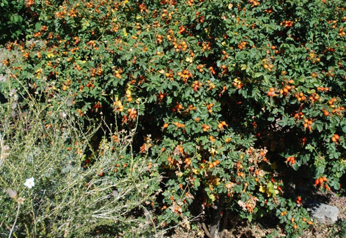 birds-can-feast-on-these-rose-hips.jpg
