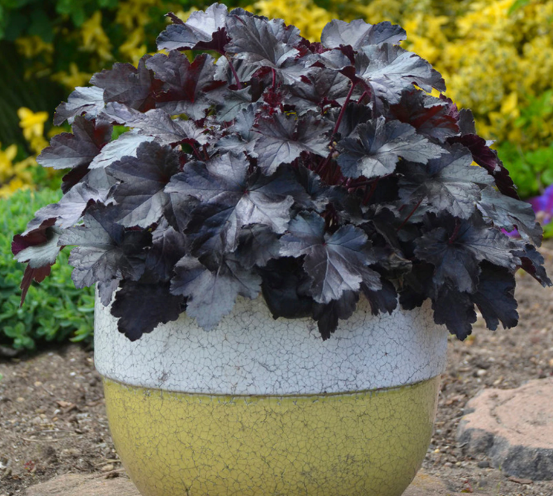 black-coral-bells-growing-in-pot.png