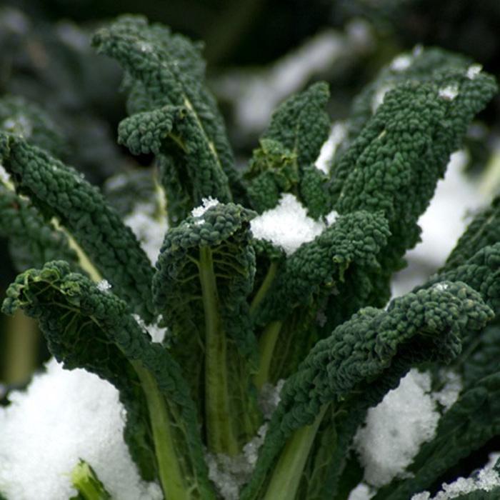black-magic-kale-covered-in-snow.jpg