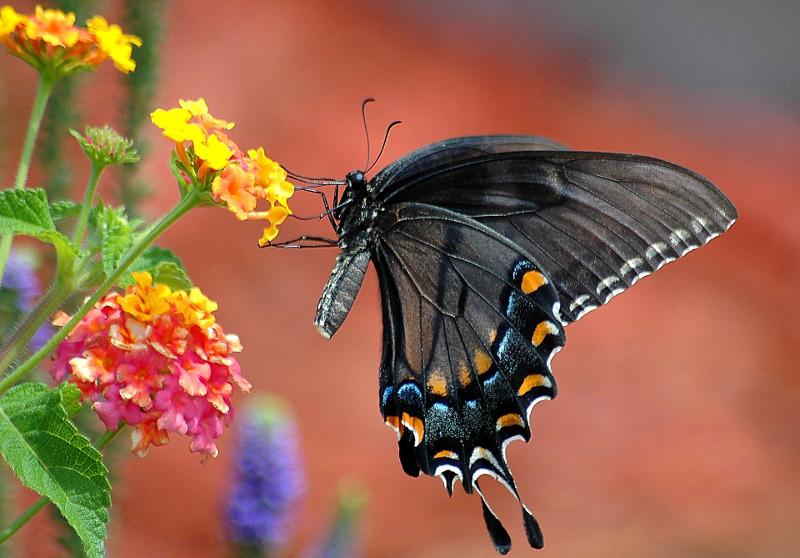 black-swallowtail-butterfly-on-lantana-flower.jpg