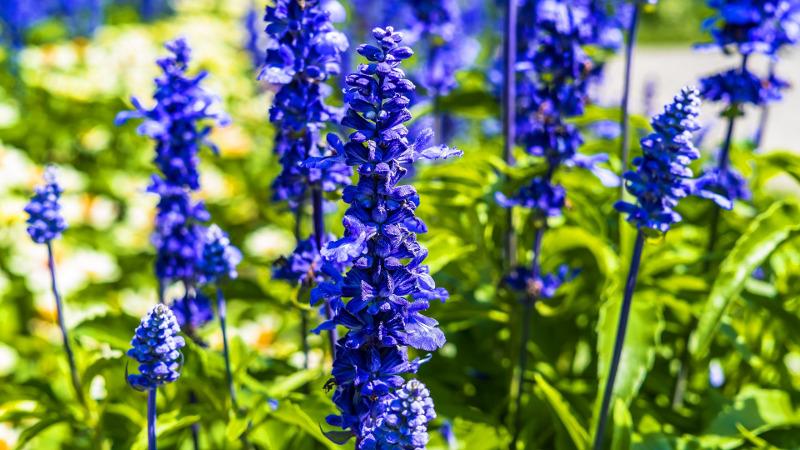 blue-larkspur-flowers-in-the-sunlight.jpg