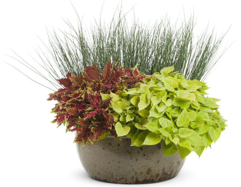 blue-mohawk-soft-rush-grass-in-planter.png