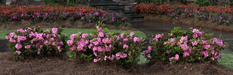 border-of-azaleas-flowering.jpg