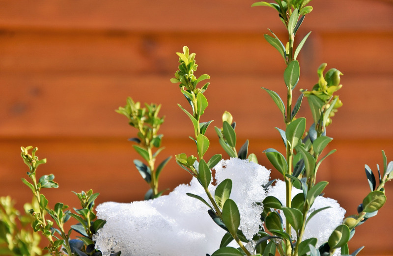 boxwood-branches-with-snow.jpg