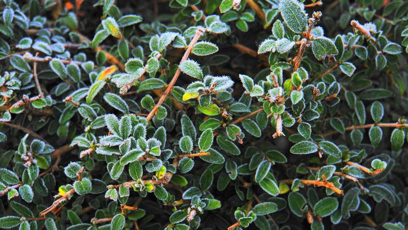 boxwood-shrub-with-frost.jpg
