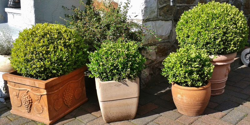 boxwood-shrubs-in-different-sized-planters.jpg