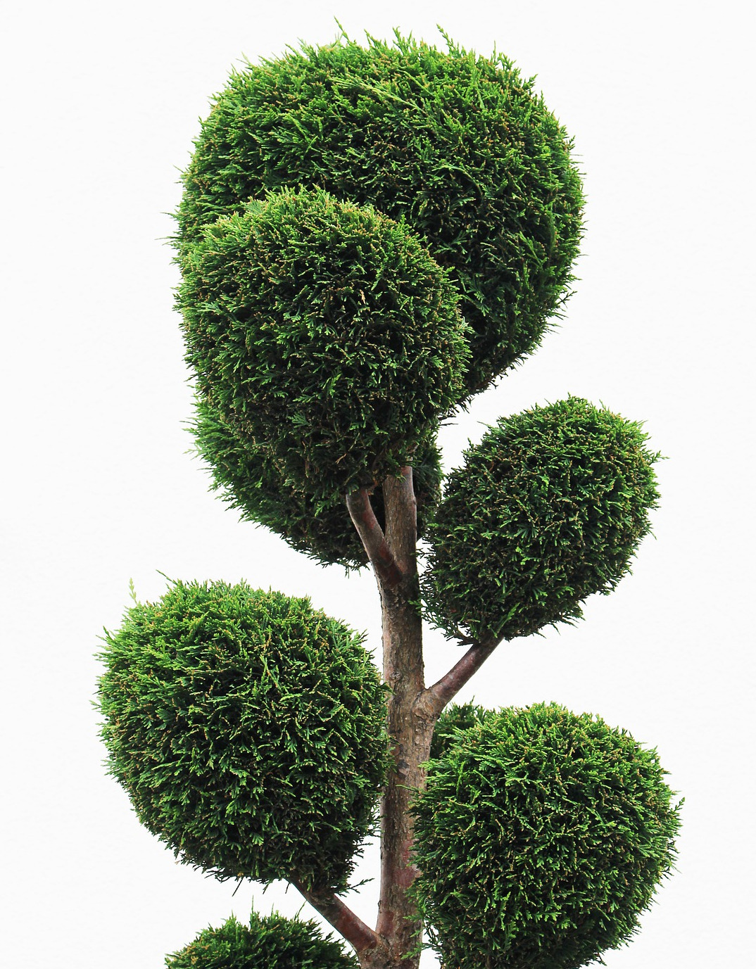 boxwood-topiary-tree.jpg
