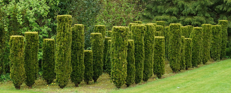 boxwoods-growing-upright-into-trees.jpg