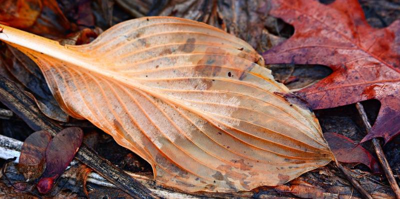 brown-hosta-leaf.jpg