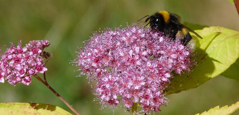 bumblebee-on-spiraea-flower.jpg