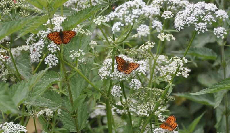 butterflies-on-white-yarrow-flowers.jpg