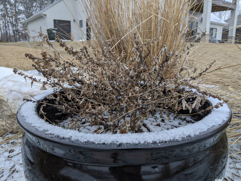 butterfly-bush-covered-in-snow.jpg