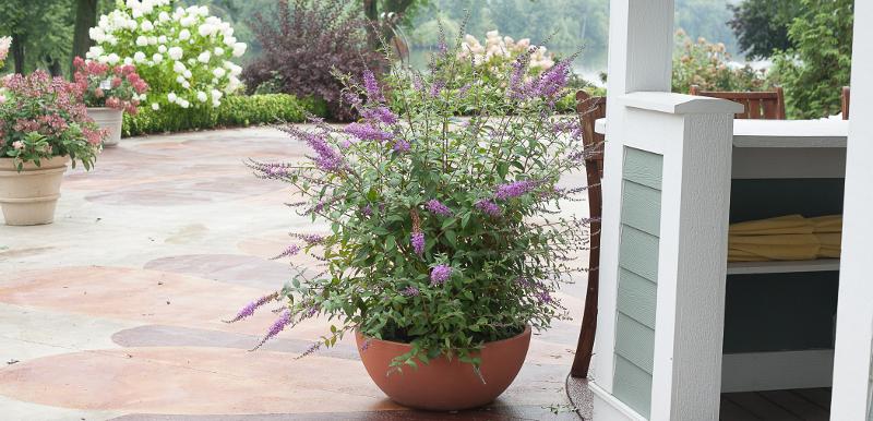 butterfly-bush-growing-in-a-bowl-planter.jpg