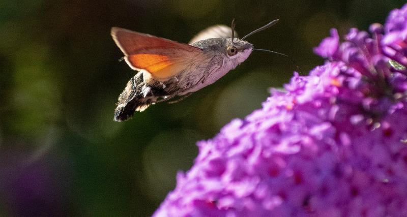 butterfly-bush-hummingbird-moth.jpg